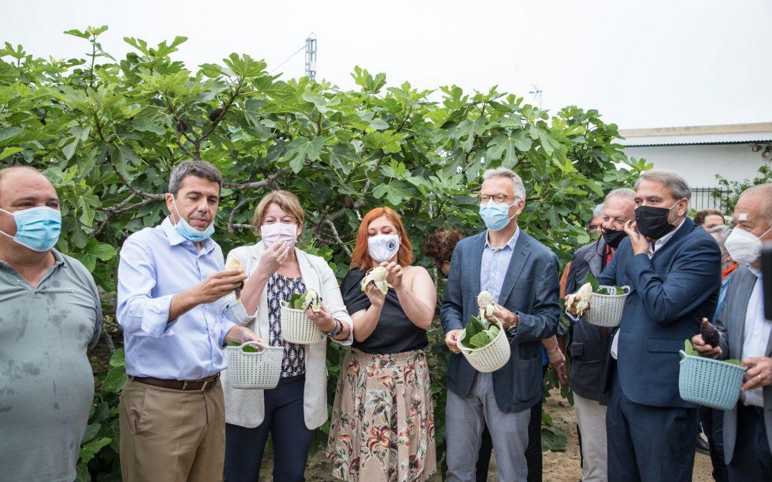 Albatera inaugura la temporada de su producto estrella: la breva